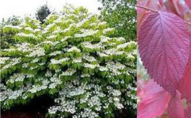Viburnum plicatum f. tomentosum 'Mariesii'Doublefile Viburnum -