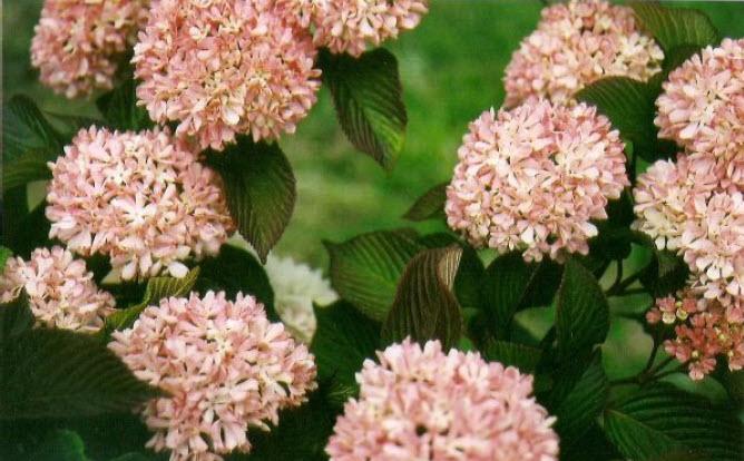 Viburnum plicatum 'Kern's Pink'Kern's Pink Viburnum -