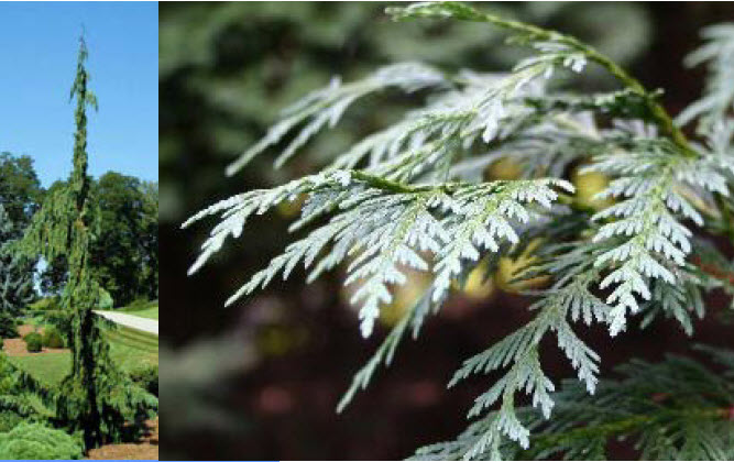 Chamaecyparis nootkatensis 'Green Arrow'Alaskan Weeping Cedar -