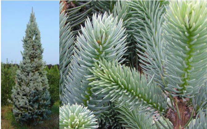 Picea p. 'Fastigiata'Columnar Blue Spruce -