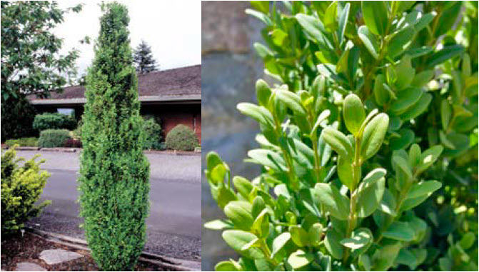 Buxus 'Graham Blandy'Columnar Boxwood -