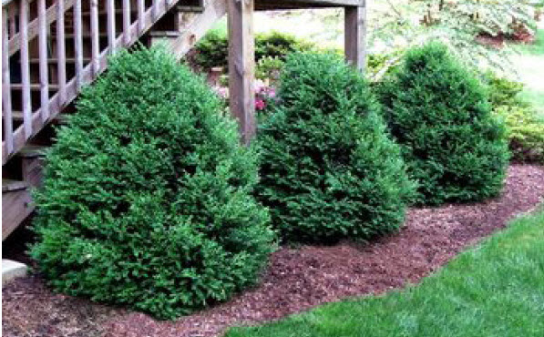 Buxus 'Green Mountain'Boxwood -