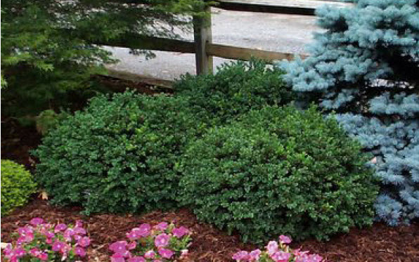 Buxus 'Vardar Valley'Boxwood -