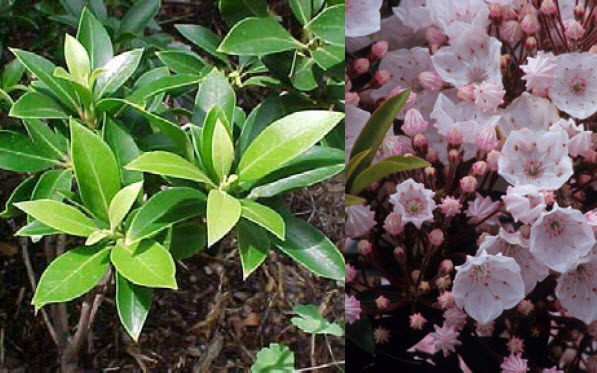 Kalmia latifolia 'Elf'Dwarf Mountain Laurel -