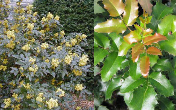 Mahonia aquifoliumOregon Grape-holly -