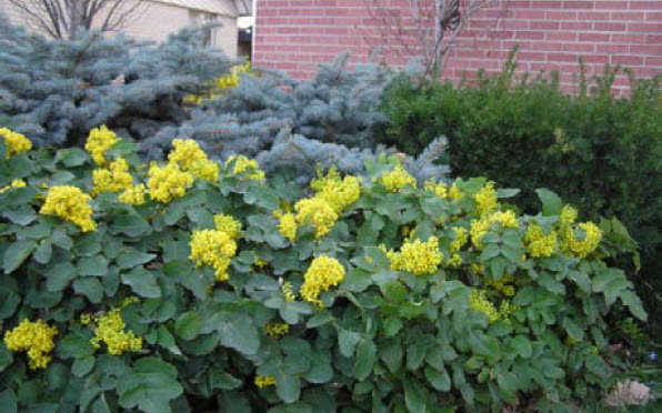 Mahonia repensCreeping Mahonia -