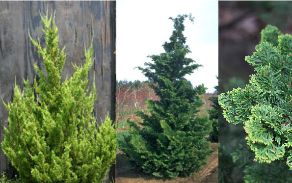 Specimen Conifer -