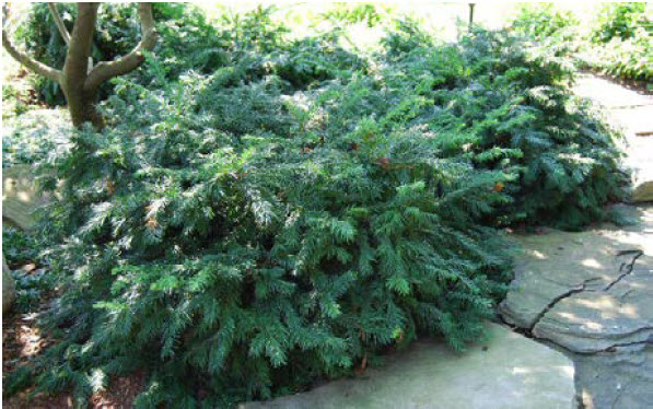 Taxus baccata 'Repandens'Spreading English Yew -