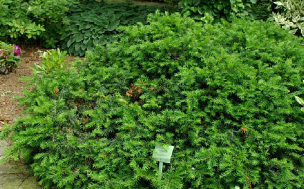 Taxus x media 'Everlow'Everlow Yew -