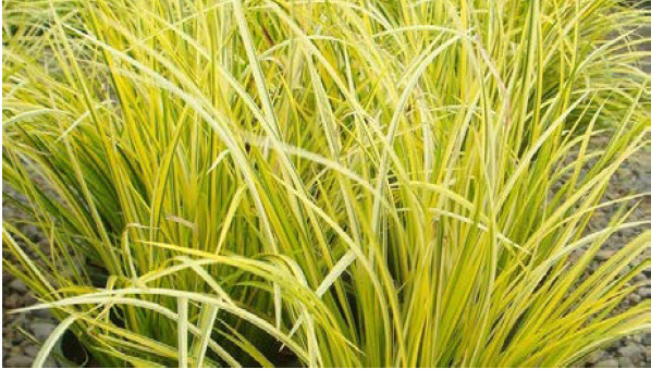 """Acorus gramineus 'Ogon'Sweet Flag - Mature size: 1' W x 10"""" HNotes: Upright, sword-like foliage; bright golden color; grows well in moist or wet soils"""