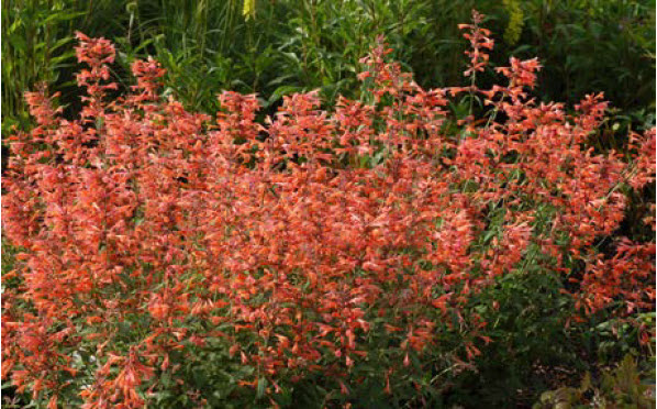 Agastache 'Sunset' seriesHyssop - Mature size: 2' W x 1-1.5' HNotes: Masses of tiny tube shaped flowers in shades ranging from orange to coral and pink all summer; aromatic leaves; drought tolerant; can attract hummingbirds
