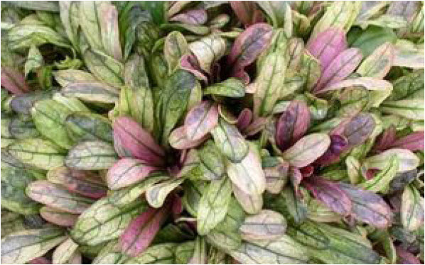 Ajuga 'Dixie Chip'Bugleweed - Mature size: 0.5-1' W x 0.25' HNotes: Vigorous spreading ground cover; small leaves ranging from cream, pink, burgundy, and green; purple flowers in early summer