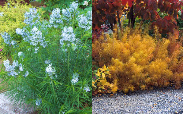 Amsonia hubrichtiiBlue Star - Mature size: 2-3' W x 2-3' HNotes: Clusters of small, blue, star-shaped flowers in spring; delicate foliage; beautiful golden fall color