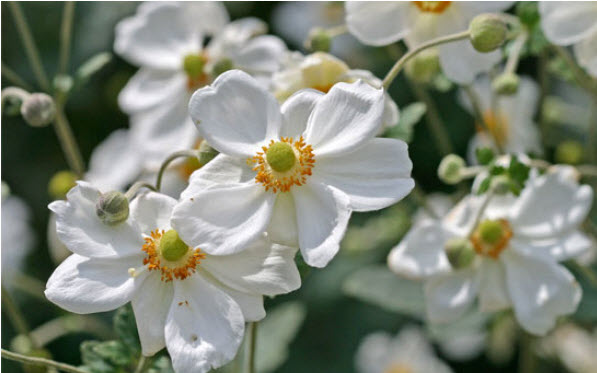 Anemone 'Honorine Jobert'Japanese Anemone - Mature size: 1.5-2' W x 3-4' HNotes: Dark green, glossy foliage; graceful white flowers with bright yellow centers on tall stems; blooms in late summer, early fall