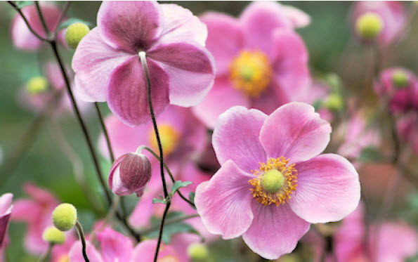 Anemone 'September Charm'Japanese Anemone - Mature size: 2-2.5' W x 2.5-3' HNotes: Glossy green foliage; tall, showy, pinkflowers with cheerful yellow centers in mid summer/early fall