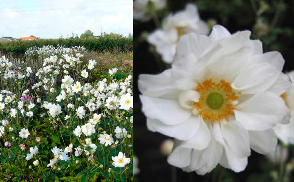 Anemone 'Whirlwind'Windflower - Mature size: 2' W x 2-3' HNotes: Glossy green foliage; tall, showy flowers in mid summer/early fall