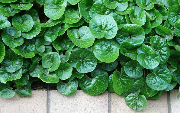 Asarum europaeumEuropean Wild Ginger - Mature size: 1-1.5' W x 0.5' HNotes: Creeping groundcover with glossy, leathery, evergreen leaves