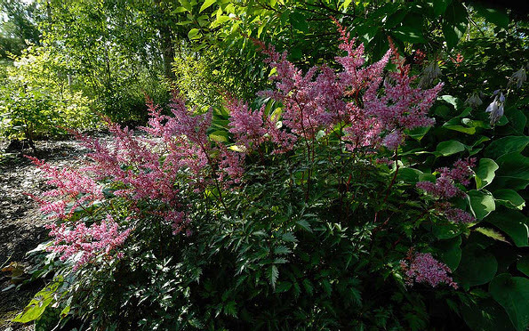 Astilbe 'Key West'Meadow Sweet - Mature size: 1-2' W x 1-1.5' HNotes: Ferny foliage emerges red, then turns green with a narrow red edge; feathery, magenta flower plumes in summer