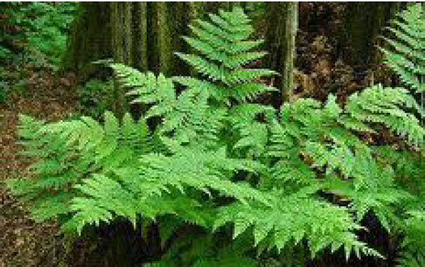 Athyrium filix-feminaLady Fern - Mature size: 2-3' W x 2-3' HNotes: Attractive, airy foliage for shade; soft, delicate texture