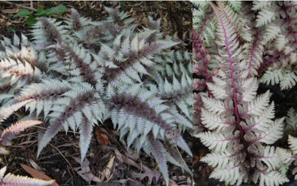 Athyrium niponicum 'Pictum'Japanese Painted Fern - Mature size: 1-1.5' W x 1.5-2' HNotes: Deciduous fern with weeping habit; grayish-green fronds with highlights of silver and maroon