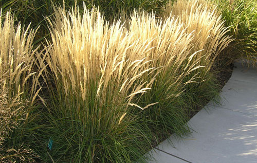 Calamagrostis 'Karl Foerster'Feather Reed Grass - Mature size: 1.5-2.5' W x 3-5' HNotes: Clump-forming grass with a tall, vertical shape; feathery, golden seedheads in summer; good winter interest