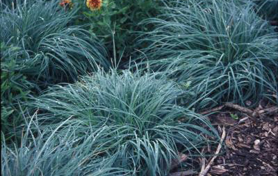 Carex glauca 'Blue Zinger'Blue Sedge - Mature size: 1-1.5' W x 1-1.5' HNotes: Clump forming grass; Blue-green foliage spreads slowly
