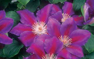 Clematis 'Anna-Louise' (or similar purple)Clematis - Mature size: 2' W x 8-10' HNotes: Large purple flowers with magenta centers in summer; delicate stems with soft green leaves