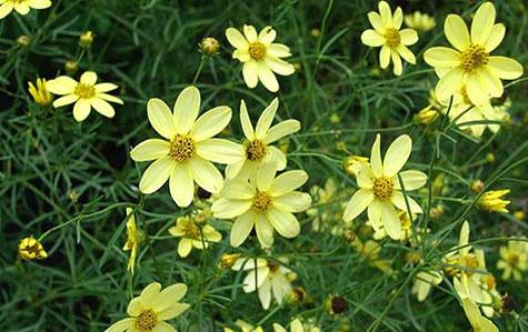 Coreopsis verticillata 'Moonbeam'Threadleaf Tickseed - Mature size: 1-2' W x 1-2' HNotes: Profuse pale yellow flowers in summer