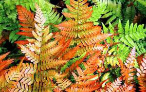 Dryopteris erythrosora 'Brilliance'Autumn Brilliance Fern - Mature size: 1-2' W x 1-2' HNotes: Arching, evergreen fern; new fronds unfurl in shades of orange-red to copper-pink, maturing to a glossy green in summer; color can return in fall