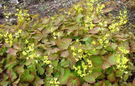 """EpimediumBarrenwort - Mature size: 2' W x 8-15"""" HNotes: Pointed, heart shaped leaves with red tints in spring; delicate flowers in late spring; semi- evergreen"""