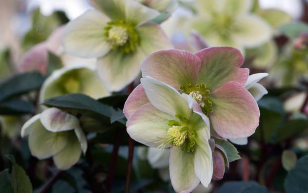Helleborus 'Ivory Prince'Hellebore - Mature size: 1-1.5' W x 1-1.5' HNotes: Long lasting flowers in late winter/early spring; deep pink buds open to upright, bright white flowers with hints of rose and green; flower color deepens with age, creating a multi-hued effect; attractive, leathery, evergreen foliage