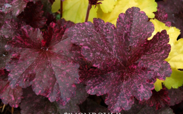 Heuchera 'Midnight Rose'Coral Bells - Mature size: 1-1.5' W x 1-2' HNotes: Clump forming perennal; showy burgundy-purple leaves with magenta spots; light pink flowers in mid summer