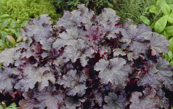 Heuchera 'Plum Pudding'Coral Bells - Mature size: 1-1.5' W x 1-2' HNotes: Clump forming perennal; showy purple leaves with silver veining; pale pink flowers in mid summer