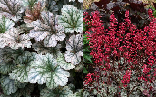 Heuchera 'Rave On'Coral Bells - Mature size: 1-1.5' W x 1-2' HNotes: Clump forming perennal; showy purple-silver leaves; bright coral-pink flowers in mid summer