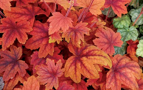 Heucherella 'Sweet Tea'Foamy Bells - Mature size: 1-2' W x 1-1.5' HNotes: Beautiful clump forming perennal; scalloped leaves with burgundy centers and orange to rose colored edges; delicate white flower spikes in mid summer