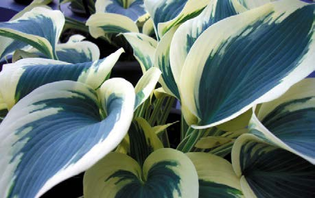 Hosta 'Blue Ivory'Hosta - Mature size: 2-3' W x 1-1.5' HNotes: Large leaved, clump forming perennial; variegated leaves with creamy white margins and blue centers; flowers in mid summer