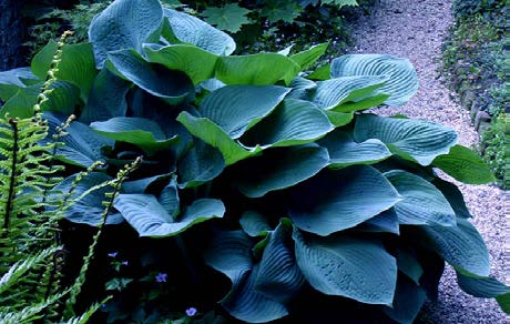 Hosta 'Elegans'Hosta - Mature size: 3-3.5' W x 2-3' HNotes: Large leaved, clump forming perennial; blue-grey leaves; white flowers in mid summer