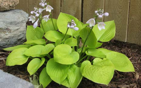 Hosta 'Golden Prayers'Hosta - Mature size: 1-2' W x 1' HNotes: Medium leaved, clump forming perennial; bright golden leaves; lavender flowers in midsummer