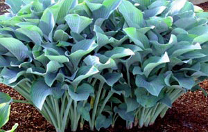 Hosta 'Krossa Regal'Hosta - Mature size: 3' W x 3' HNotes: Large, dramatic, vase-shaped perennial;frosty blue leaves; pale purple flowers in midsummer