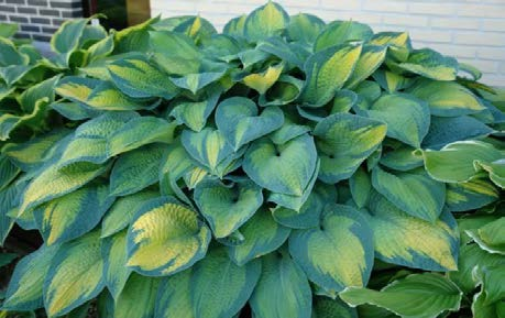 Hosta 'Paul's Glory'Hosta - Mature size: 2-3' W x 2-2.5' HNotes: Large leaved, clump forming perennial; blue-green variegated leaves with golden centers; lavender flowers in mid summer