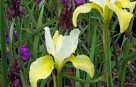 Iris sibirica 'Butter 'n Sugar'Siberian Iris - Mature size: 1-2' W x 2-3' HNotes: Attractive strappy foliage; graceful velvety purple and yellow/white flowers in late spring/early summer