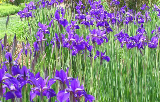 Iris siberica 'Ceasar's Brother'Siberian Iris - Mature size: 1-2' W x 2-3' HNotes: Attractive strappy foliage; graceful velvety purple flowers in late spring/early summer