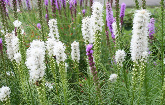 Liatris 'Floristan White'Blazing star - Mature size: 0.5-1' W x 1.5-2.5' HNotes: Clumps of grassy foliage with tall, fluffy white spikes of flowers in summer