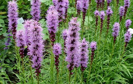 Liatris 'Kobold'Blazing Star - Mature size: 0.5-1' W x 1.5-2.5' HNotes: Clumps of grassy foliage with tall, fluffy purple spikes of flowers in summer