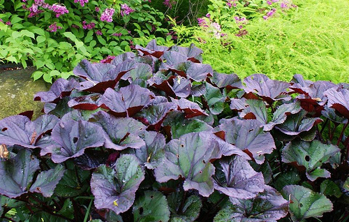 Ligularia 'Brit Marie Crawford'Leopard Plant - Mature size: 1.5-2' W x 2-3' HNotes: Large, glossy, purple-black leaves; yellow daisy-like flowers in early summer