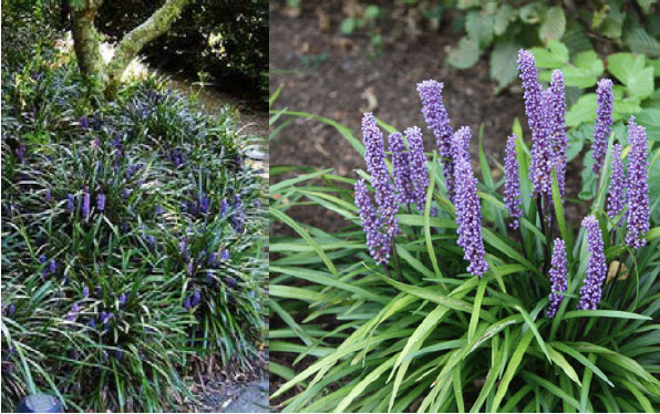 Liriope muscari 'Big Blue'Lily turf - Mature size: 1-2' W x 1-1.5' HNotes: Bright green, grass-like leaves; purple flowers in late summer