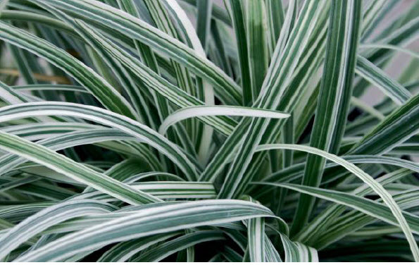 Liriope muscari 'Silver dragon'Lily turf - Mature size: 1-2' W x 1-1.5' HNotes: Silver and green variegated leaves; purple flowers in late summer