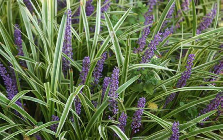 Liriope muscari 'Variegata'Lily turf - Mature size: 1-2' W x 1-1.5' HNotes: Yellow and green variegated leaves; purple flowers in late summer
