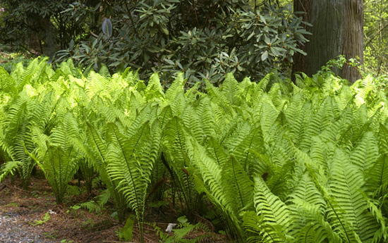Matteuccia struthiopterisOstrich Fern - Mature size: 2-3' W x 3-5' HNotes: Tall, dramatic, ostrich feather-shaped fronds; forms lush colonies