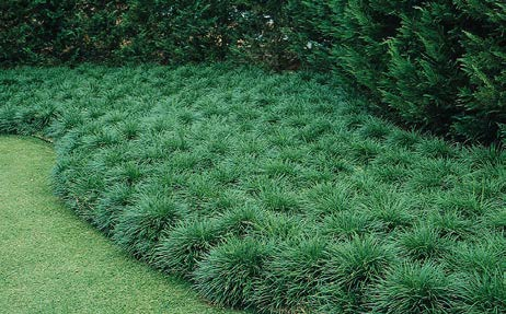 "Ophiopogon japonicus 'Nanus'Dwarf Mondo Grass - Mature size: 6-12"" W x 4-6"" HNotes: Short spreading grass; arched dark green foliage"
